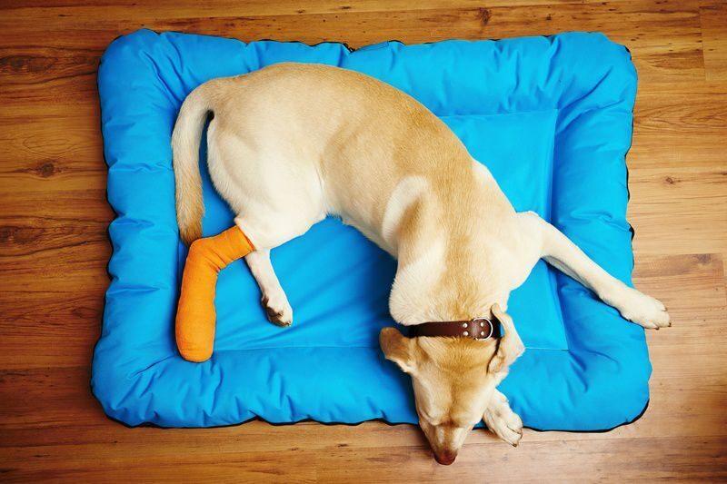 Перелом у собак как лечить в домашних условиях